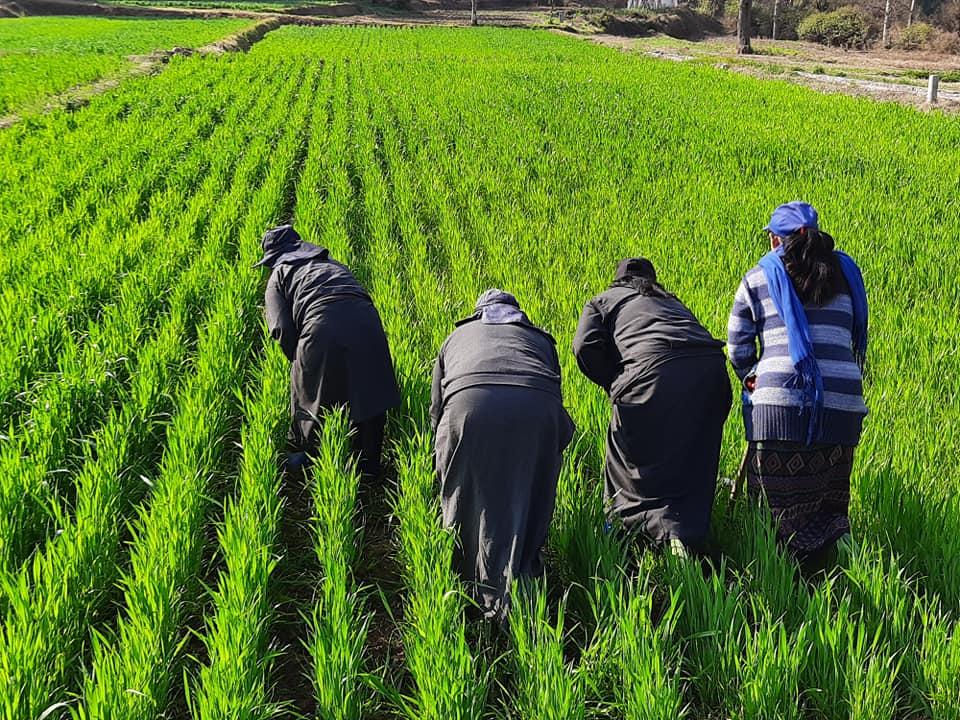 Weeding of CIMMYT germplasm trail at ARDC Bajo